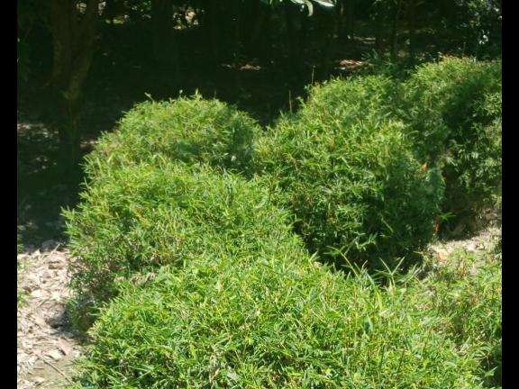 四川向日葵成都基地,灌木