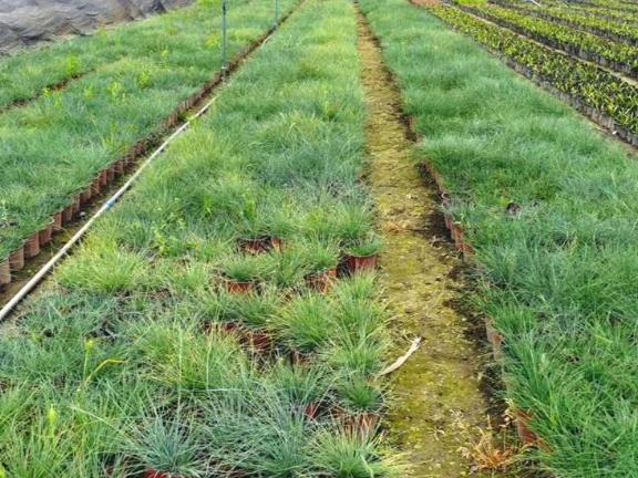 成都纸沙草工程苗 贴心服务 成都卉美园林工程供应