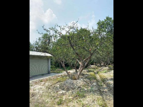 成都老人葵米径21-25公分 创造辉煌 成都卉美园林工程供应
