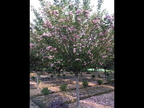 黄葛树冠幅1-2米 铸造辉煌 成都卉美园林工程供应
