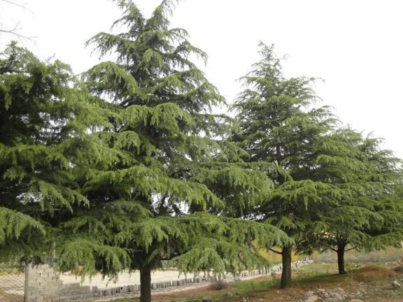 四川红梅地径21-25公分 客户至上 成都卉美园林工程供应