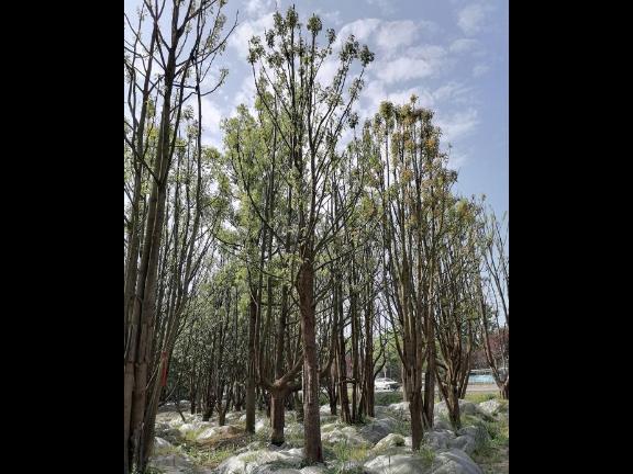 美人梅高度4-7米 和諧共贏「成都卉美園林工程供應」