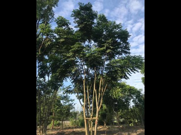 低分枝红叶碧桃物美价廉 来电咨询 成都卉美园林工程供应