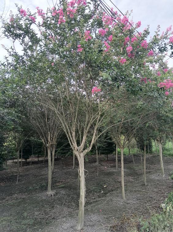 垂丝海棠熟货公司 服务为先「成都卉美园林工程供应」