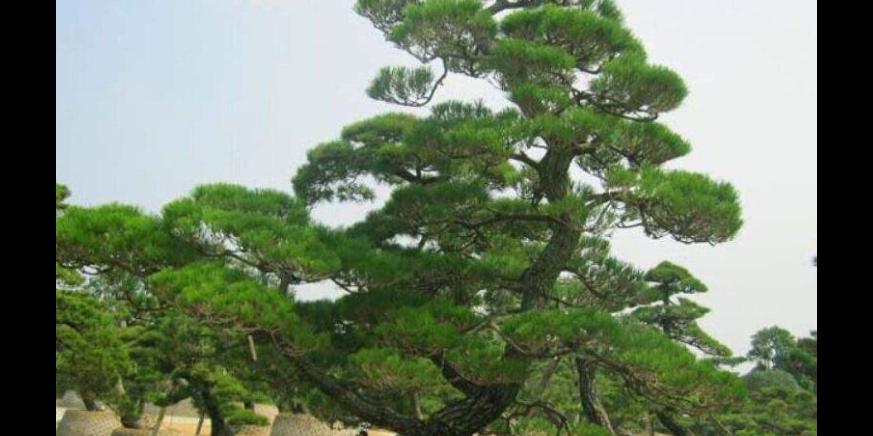 红叶杨生货 有口皆碑 成都卉美园林工程供应