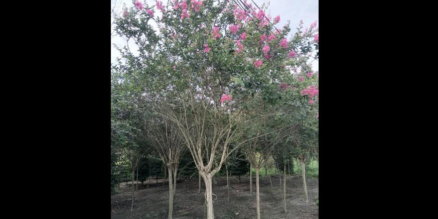 重慶黃葛樹獨桿直銷 歡迎咨詢「成都卉美園林工程供應」
