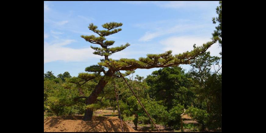 四川木芙蓉独杆直销 来电咨询 成都卉美园林工程供应
