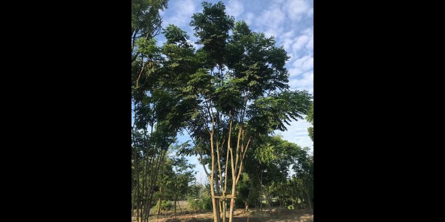 四川枇杷树独杆批发 客户至上 成都卉美园林工程供应