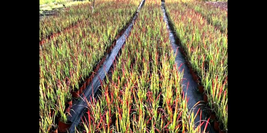 黄花槐移栽苗 铸造辉煌 成都卉美园林工程供应