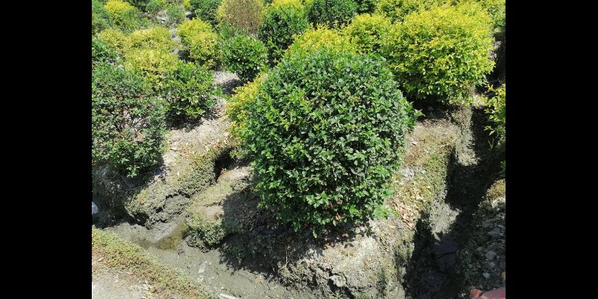 罗汉松移栽苗直销 欢迎咨询「成都卉美园林工程供应」