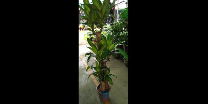 成都植物造景植物租摆租赁服务