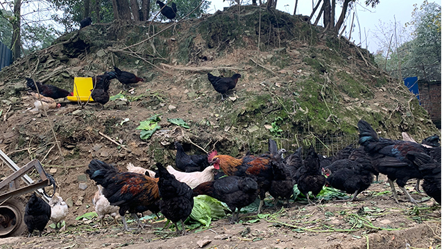 邛崍放養五黑綠殼雞蛋價格 歡迎咨詢「成都市楊子農業供應」
