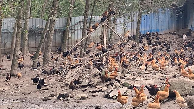 双流区乌鸡土鸡基地 诚信经营「成都市杨子农业供应」