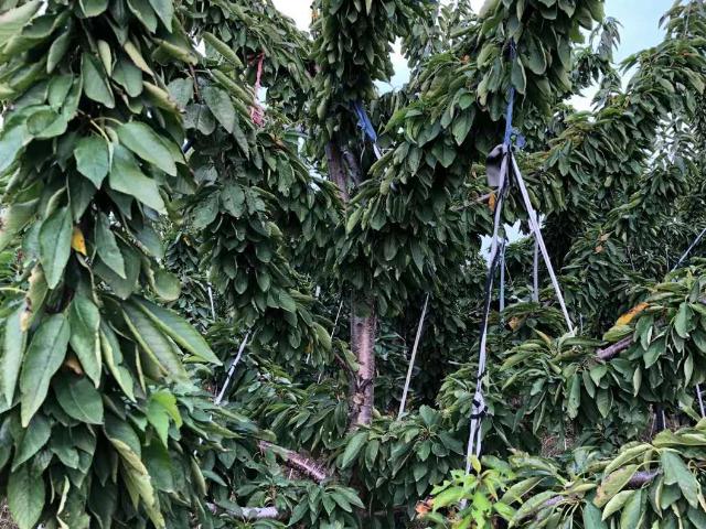 樱桃树苗移栽 欢迎来电「山东程馨农业发展供应」