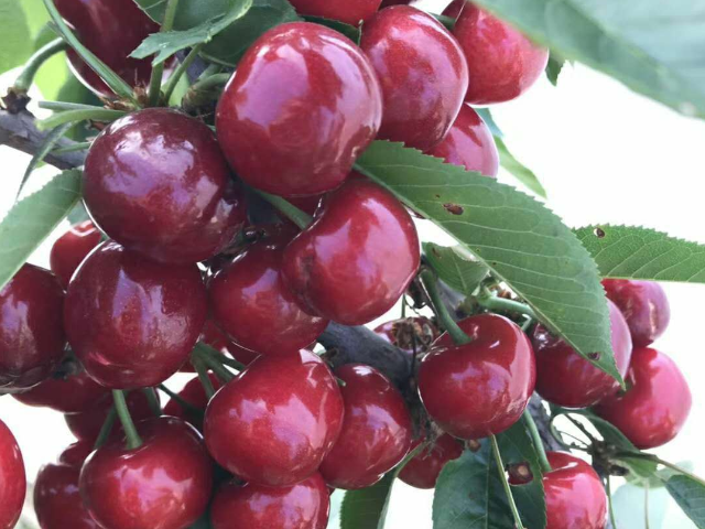 美早櫻桃樹管理