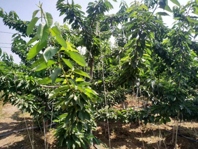 美早樱桃树栽培 值得信赖「山东程馨农业发展供应」