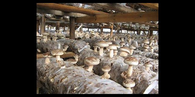 静海区价值含量食用菌怎么种植,食用菌