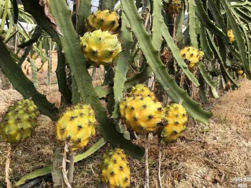 芜湖燕窝果苗价格 欢迎来电「广州市增城大乡里果树种植供应」