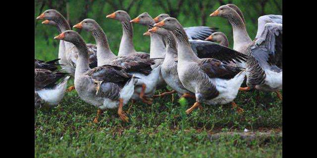 湖北鹅苗批发厂家 欢迎咨询「 广西飞信家禽孵化供应」