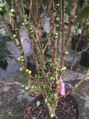 厦门沙巴树葡萄 欢迎来电 厦门耕泓农业科技供应