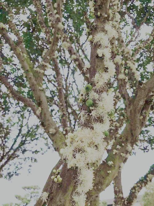 南平嘉宝果种植技术 欢迎来电「厦门耕泓农业科技供应」