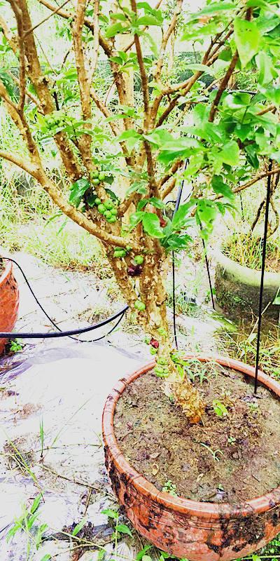 厦门沙巴嘉宝果树苗 欢迎来电 厦门耕泓农业科技供应