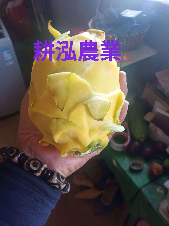 长沙黄龙果苗供应商,黄龙果