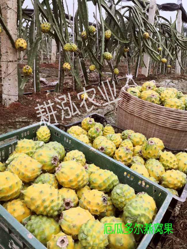 厦门红皮燕窝果苗供应商 欢迎来电 厦门耕泓农业科技供应
