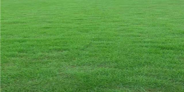 贵阳绿化草皮基地 贴心服务「金田苗木种植园供应」