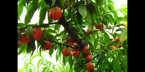枣庄西瓜种植及批发