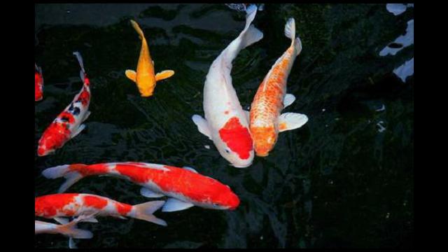 深圳衣鲤售价,观赏鱼