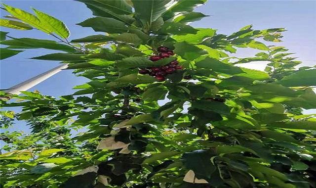 云南黑珍珠车厘子苗种植基地,车厘子苗