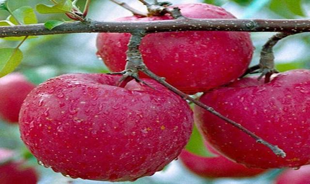 曲靖質量蘋果苗種植批發「云南曲靖久田苗木基地供應」