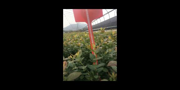 承德奥尼尔蓝莓苗种植 欢迎来电「台州市君临蓝莓供应」