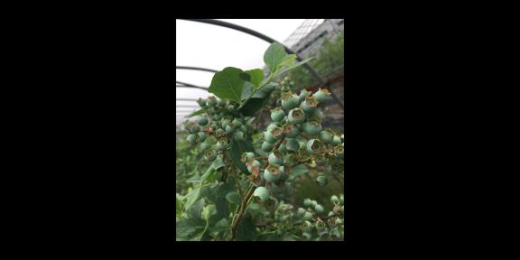 宣城绿宝石蓝莓苗供应商
