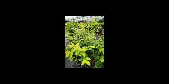 芜湖蓝莓种植蓝莓苗批发多少钱 欢迎来电「台州市君临蓝莓供应」