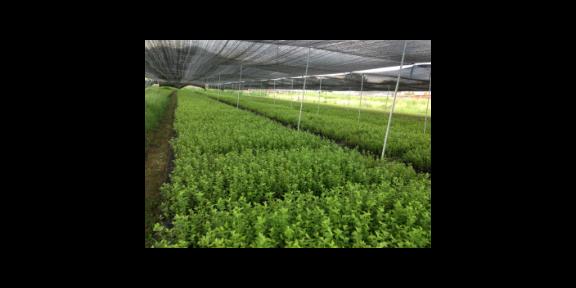 菏泽明星蓝莓苗价格 欢迎咨询「台州市君临蓝莓供应」