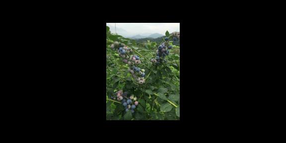 北京明星蓝莓苗基地 服务为先「台州市君临蓝莓供应」