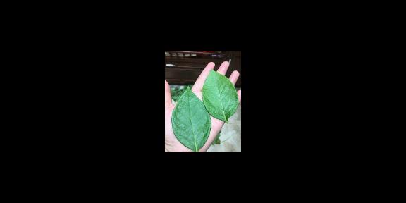 焦作蓝莓种植蓝莓苗种植 抱诚守真「台州市君临蓝莓供应」