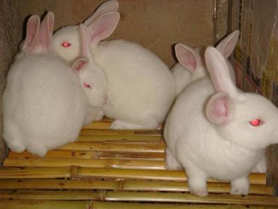 绵竹原种兔,种兔