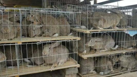邛崍種兔圖片 來電咨詢「濟寧紅陽養殖供應」