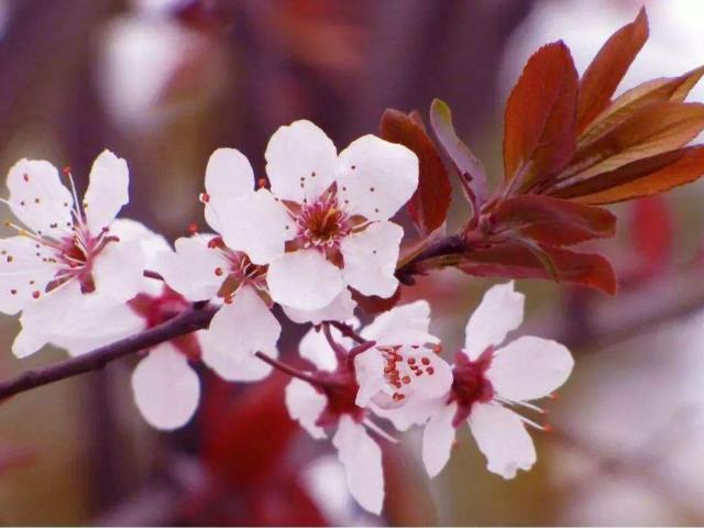 园林绿化苗木紫叶李苗价格,紫叶李