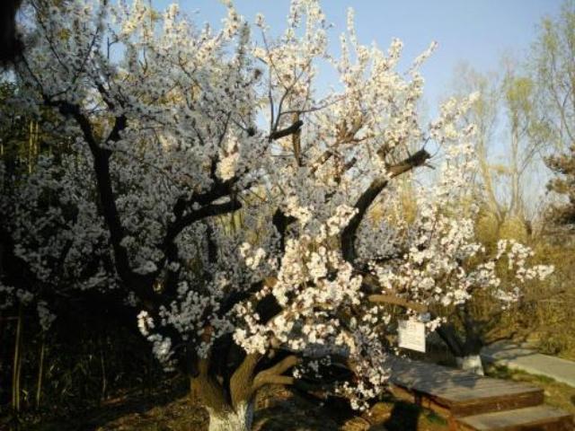 供应山杏树,山杏树