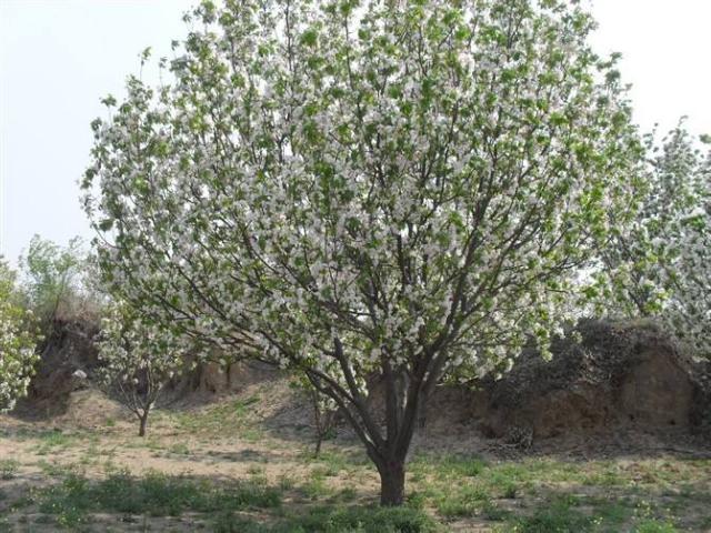 12公分山杏树移栽,山杏树