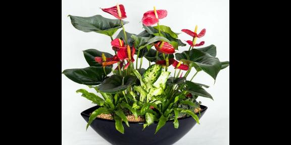 高淳區綠植花卉養護好不好 服務至上 南京康之蕊園藝供應
