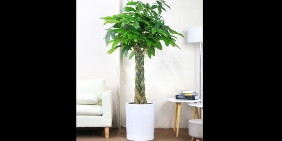 玄武區室內綠植花卉養護怎么收費 貼心服務 南京康之蕊園藝供應