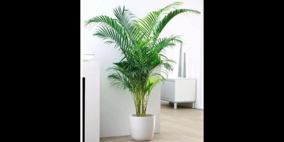 江寧區辦公室綠植花卉銷售公司 歡迎咨詢「南京康之蕊園藝供應」