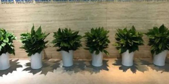 大型花卉綠植租賃怎么樣 有口皆碑 南京康之蕊園藝供應