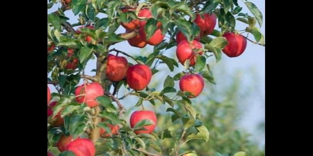 唐山市果树多少钱 服务至上 聊城桃花源园艺科技供应