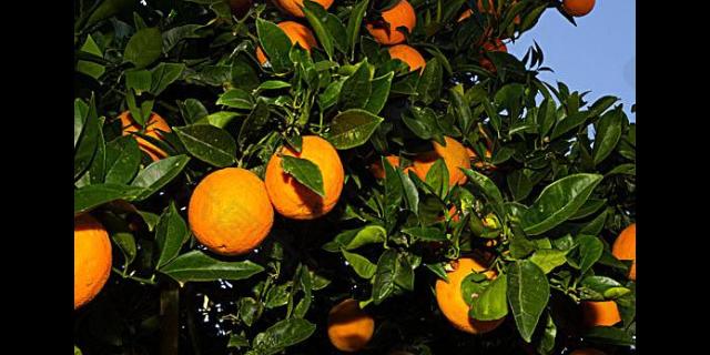 成都市苹果树厂家 欢迎来电 聊城桃花源园艺科技供应